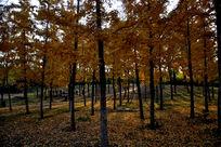 撒满金色树叶的银杏林