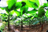 香蕉园内排列有序的香蕉树