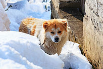 雪地里一只小花狗