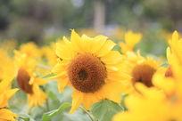 点头的向日葵