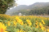 公园边的向日葵