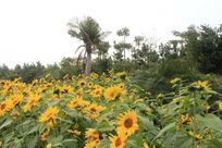 观音埔向日葵