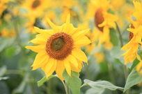 黄黄的向日葵
