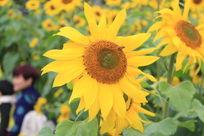江滨公园风中的向日葵