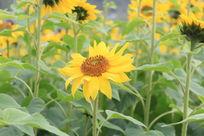 江滨公园中的向日葵