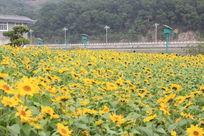 江滨龙江向日葵