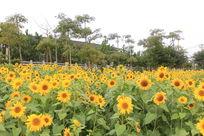 江滨一片向日葵
