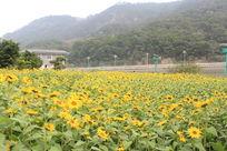 龙江边向日葵