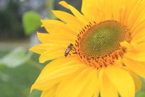 蜜蜂落在向日葵上