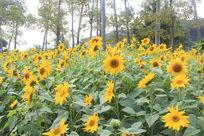 小树林中的向日葵