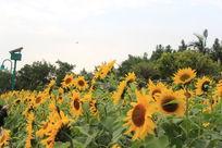 迎风招展的向日葵