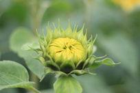 准备开花的向日葵