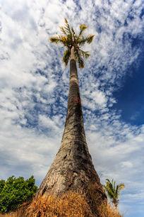 笔直的椰树