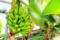 长在香蕉树上未成熟香蕉