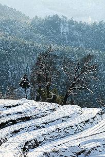 大雪后的金龙山梯田与古树
