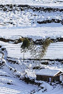 大雪后几棵毛竹仍然挺立着