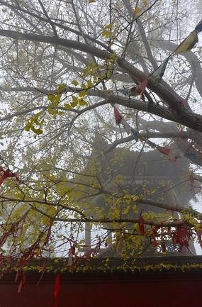 黄华山千年古银杏树