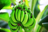 青香蕉特写