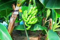 一串青香蕉