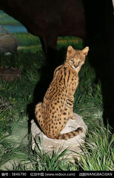 非洲猫标本图片,高清大图_陆地动物素材