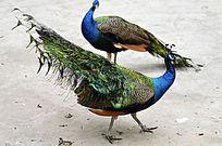 两只对视的孔雀