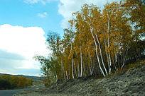 公路边的白桦林