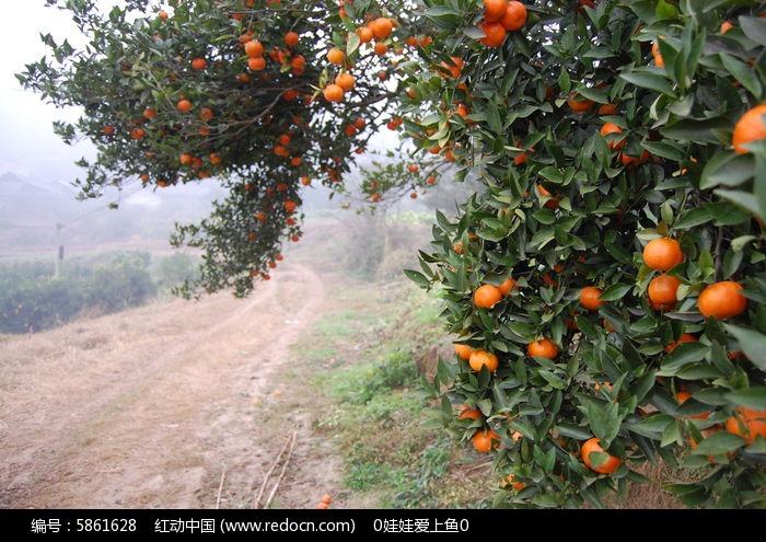 橘子红了图片,高清大图_森林树林素材