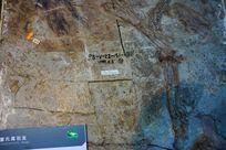 董式尾羽龙化石