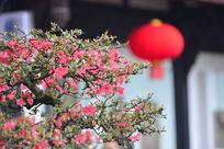 红灯笼与腊梅