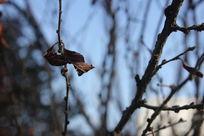 高挂在枝头的枯叶图片