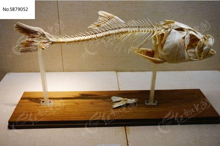 鱼骨标本图片,高清大图_水中动物素材