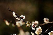 含苞的梅花