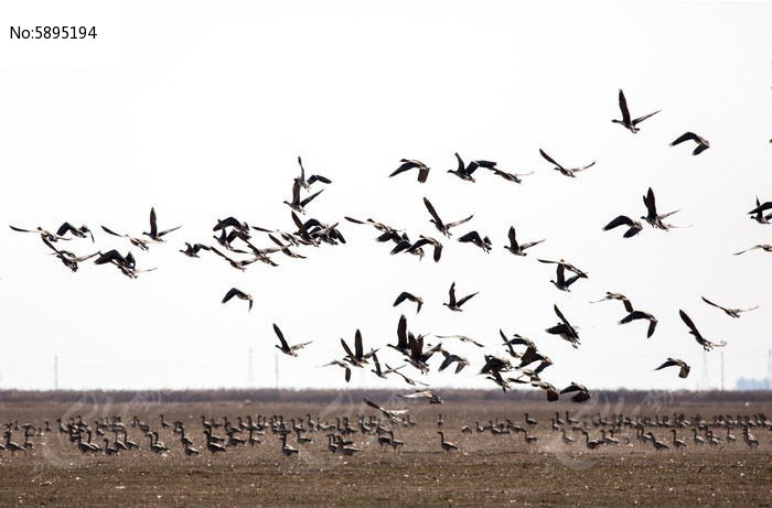 原创摄影图 动物植物 空中动物 冬季麦田大雁