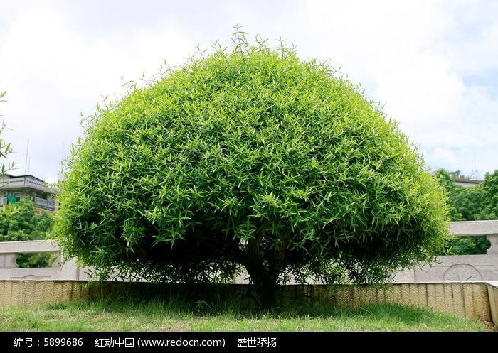 原创摄影图 动物植物 树木枝叶 公园绿化树