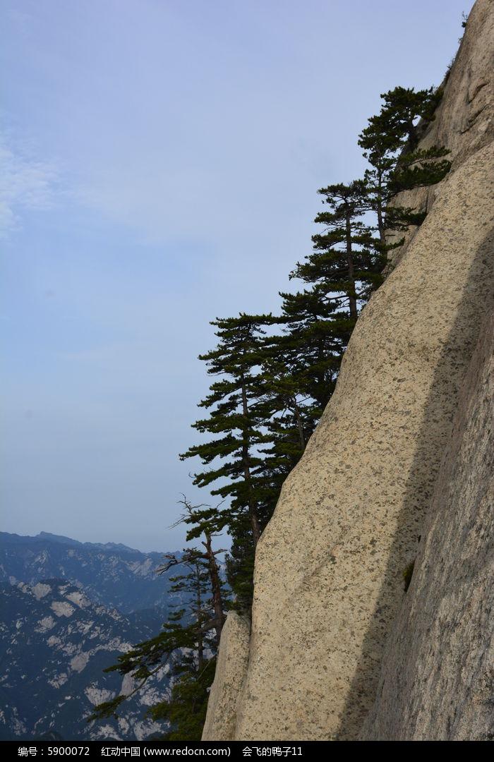 华山悬崖峭壁上的松树图片素材