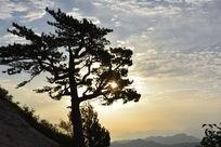 山顶逆光拍摄松树图片素材