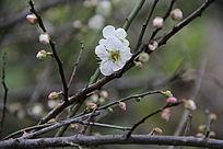 寒冬中的梅花