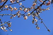 蓝天下的梅花