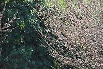 枝条上的梅花