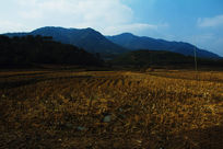 黄色的水稻田