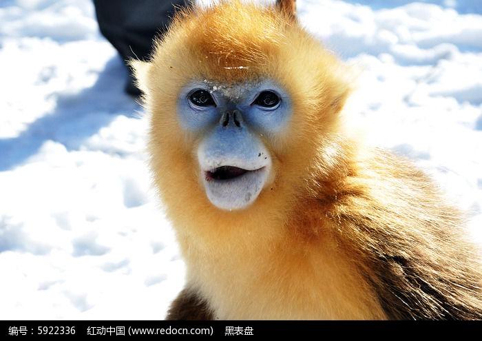 原创摄影图 动物植物 陆地动物 金丝猴的眼神  请您分享: 红动网提供