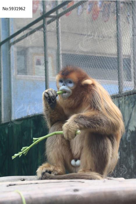 原创摄影图 动物植物 陆地动物 吃饭的金丝猴  请您分享: 红动网提供