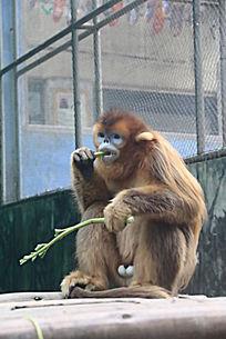 吃饭的金丝猴