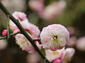 粉色腊梅花团