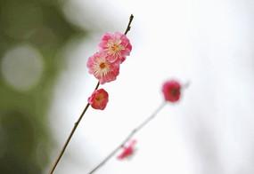 粉色梅花双花枝