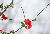 红腊梅花枝