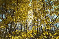 金黄漂亮的银杏树