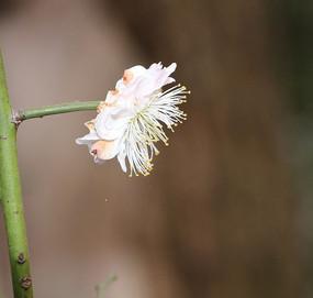 枯萎的粉色梅花