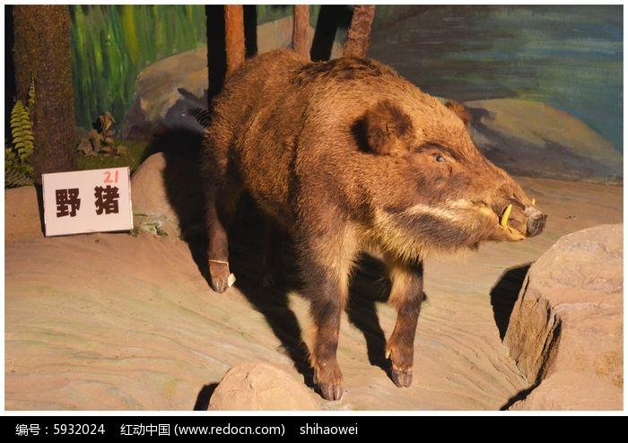 野猪图片,高清大图_陆地动物素材