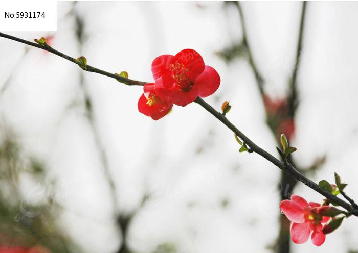 一枝梅花花枝图片